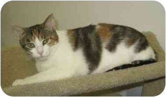 Calico Cat for adoption in Powell, Ohio - Bonnie