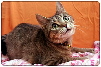 Domestic Shorthair Cat for Sale in Sterling Heights, Michigan - Emily - ADOPTED!
