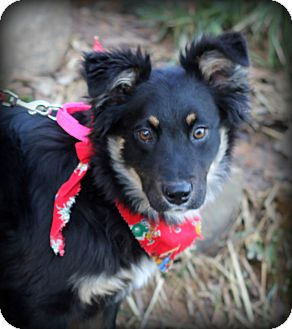 Sheltie, Shetland Sheepdog/Border Collie Mix Dog for adption in Dalton ...