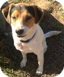 Beagle Mix Dog for Sale in Manchester, Connecticut - Spot in Ct