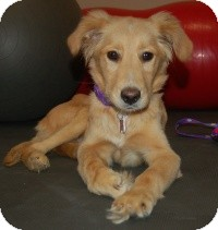 Golden Retriever Mix Dog for Sale in Scottsdale, Arizona - Josh