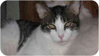 Domestic Shorthair Cat for adoption in Tempe, Arizona - Dylan