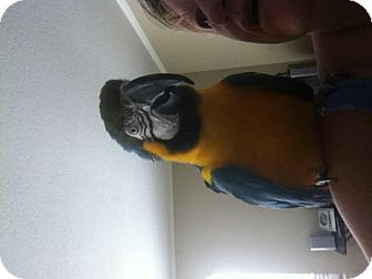 Macaw for Sale in Fountain Valley, California - Downey