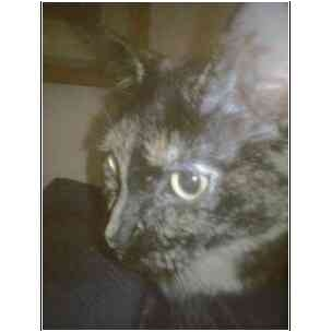 Domestic Shorthair Cat for adoption in Owasso, Oklahoma - Ramona Junior