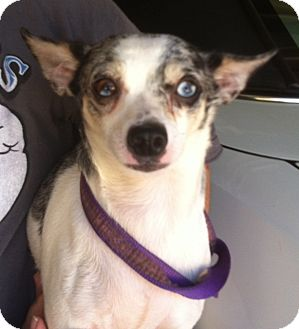 Chihuahua Dog for adption in Studio City, California - Starlet