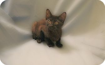 Domestic Shorthair Kitten for Sale in Richmond, Virginia - Miyo