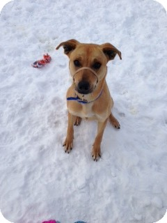 Black Mouth Cur Mix Dog for Sale in Chippewa Falls, Wisconsin - Elle