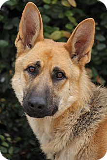 German Shepherd Dog Dog for Sale in Los Angeles, California - Rommel von Ritz