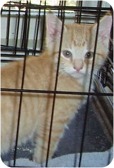 Domestic Shorthair Kitten for adoption in Westfield, Massachusetts - Orange Kitten