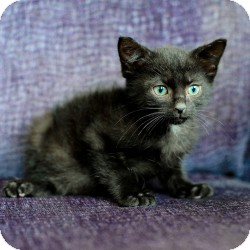 Bombay Kitten for Sale in Ft. Lauderdale, Florida - Bongo