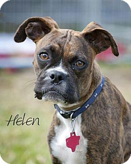 Boxer/Boston Terrier Mix Dog for Sale in Porter, Texas - Henry & Helen