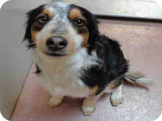 Border Collie Mix Dog for adption in Ogden, Utah - Gordo
