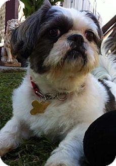 Shih Tzu/Lhasa Apso Mix Dog for Sale in Los Angeles, California - TUXX