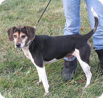 Beagle Mix Dog for Sale in Lisbon, Ohio - Punky