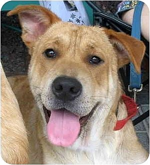 Golden Retriever/Shar Pei Mix Dog for adption in Richmond, Virginia - Buddy