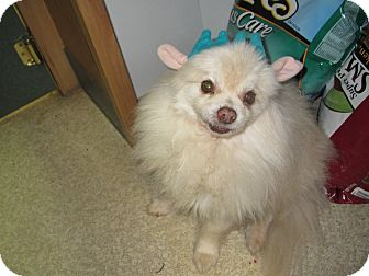 Pomeranian Mix Dog for Sale in Hamilton, Montana - Teddy