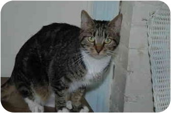 Domestic Shorthair Cat for adoption in Oyster Bay, New York - Angel