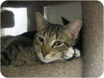 Domestic Shorthair Cat for adoption in Margate, Florida - Jake