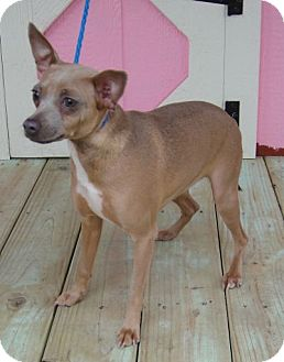 Chihuahua/Miniature Pinscher Mix Dog for adption in Porter, Texas - Sydnee