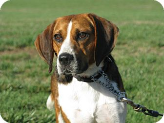 Indianapolis, IN - Beagle/Treeing Walker Coonhound Mix. Meet Harvey a