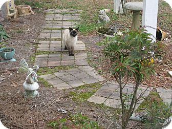 Siamese Cat for Sale in Braselton, Georgia - *Marecsa3
