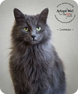 Domestic Longhair Cat for Sale in Phoenix, Arizona - Lorenzo