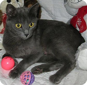 Russian Blue Cat for Sale in Poway, California - Blue Angel