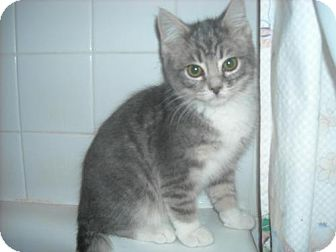 Domestic Shorthair Kitten for Sale in Arlington, Virginia - Sherman