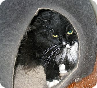 Domestic Longhair Cat for adoption in Quincy, Massachusetts - Rosie