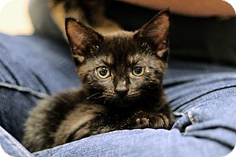 Domestic Shorthair Kitten for Sale in Chicago, Illinois - Zambezi