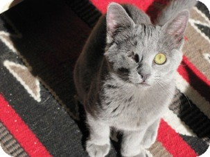 Domestic Shorthair Kitten for Sale in Diamond Bar, California - WINK