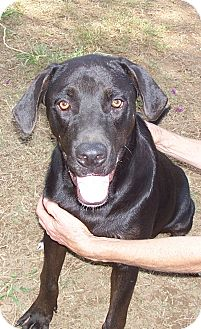 Labrador Retriever Mix Dog for adption in Conway, Arkansas - Roy