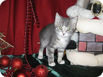 Domestic Shorthair Kitten for Sale in Clearfield, Utah - Element