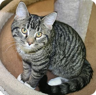 Domestic Shorthair Cat for adoption in Edmonton, Alberta - Nico