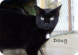American Shorthair Cat for Sale in Hamilton, Montana - Doug