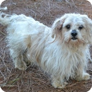 Lhasa Apso Mix Dog for Sale in Athens, Georgia - Millie