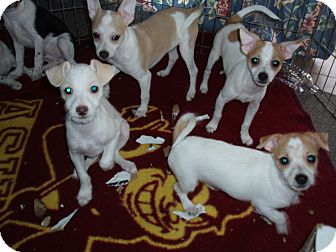 Chihuahua Mix Puppy for adption in Phoenix, Arizona - New Designer Breed