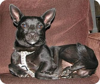 Chihuahua/Manchester Terrier Mix Dog for Sale in Harrisonburg, Virginia - Oliver