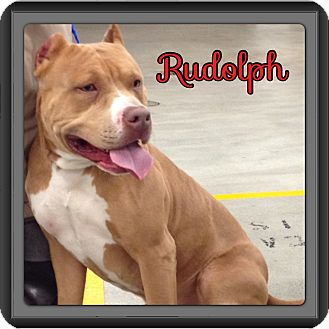 American Pit Bull Terrier Dog for adption in Spring, Texas - Rudolph
