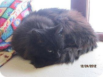 Domestic Mediumhair Cat for Sale in N. Berwick, Maine - Noel