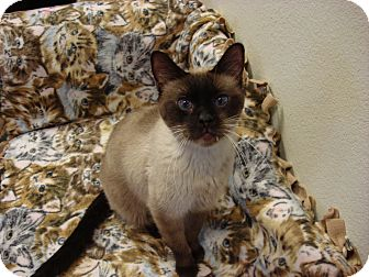 Siamese Cat for Sale in Fountain Hills, Arizona - CEE-LO
