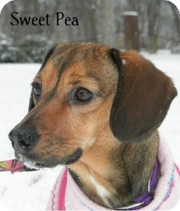 Hound (Unknown Type) Mix Dog for Sale in Warren, Pennsylvania - Sweet Pea