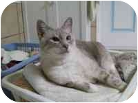 Siamese Cat for adoption in Las Vegas, Nevada - Max
