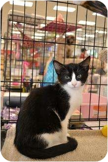 Domestic Shorthair Cat for adoption in Chino, California - Kitten 3