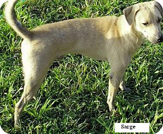 Labrador Retriever Mix Dog for adption in Moulton, Alabama - Sarge