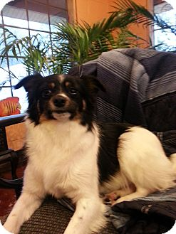 Papillon/Terrier (Unknown Type, Small) Mix Dog for Sale in Windham, New Hampshire - PePe' $100 off
