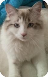 Ragdoll Cat for Sale in Ennis, Texas - Hopi (Indiana area only)