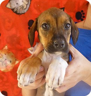Beagle Mix Puppy for adption in Oviedo, Florida - Brianna