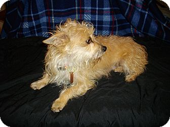 Terrier (Unknown Type, Small) Mix Dog for Sale in Sheridan, Oregon - Buttercup