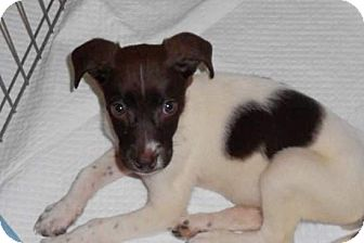 Jack Russell Terrier/Spaniel (Unknown Type) Mix Puppy for Sale in Torrance, California - Desi